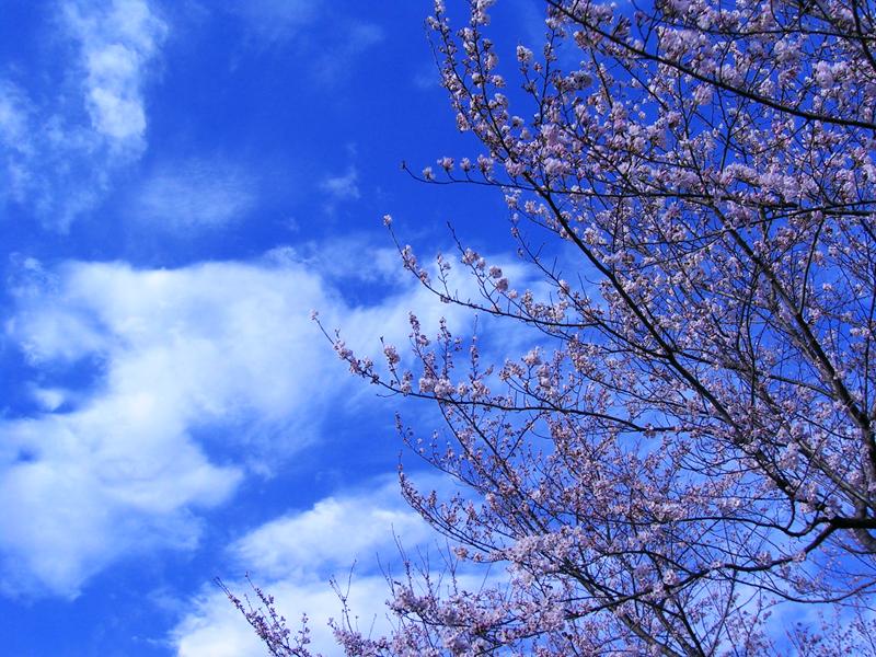 空と桜1.jpg