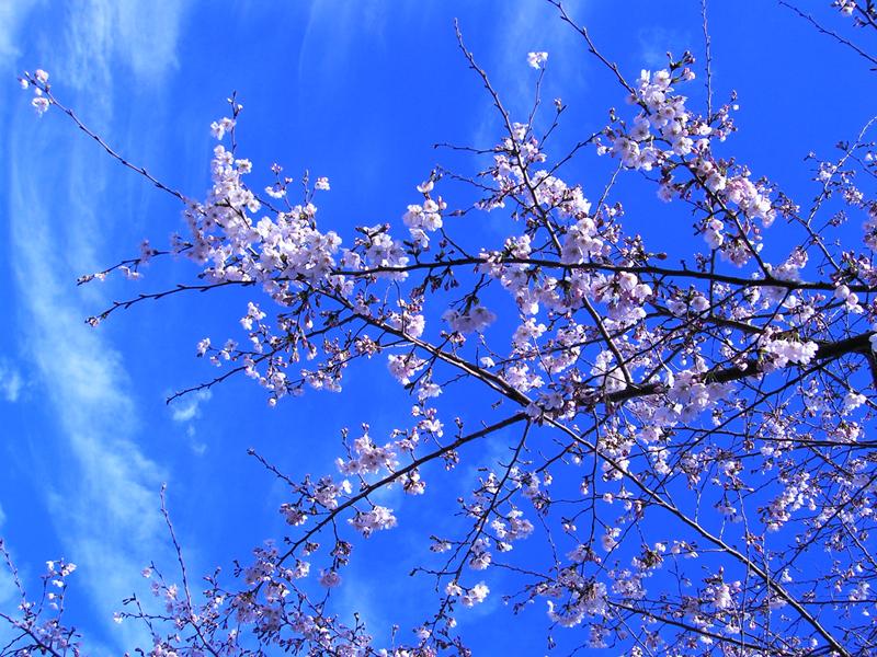 空と桜2.jpg