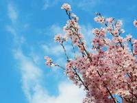 2008桜2.jpg