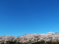 空と桜4.jpg