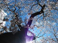 見上げる空と桜の木.jpg